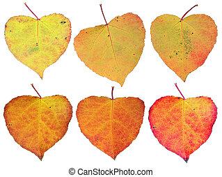 folhas, -, amarela, isolado, corações, outono, europeu, vermelho, árvore, seis, set., cores, outubro, aspen