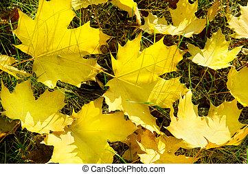 folhas, amarela, outono, grama verde, maple