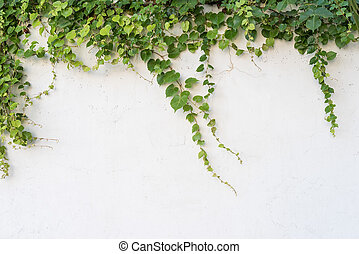 folhas, branca, isolado, fundo, hera