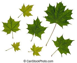 folhas, branca, isolado, fundo, maple