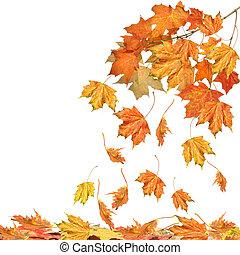 folhas, branca, isolado, ramo, maple
