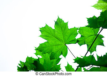 folhas, branca, maple