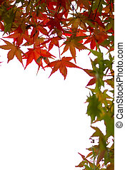 folhas, branca, maple, vermelho