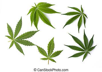 folhas, branca, marijuana, fundo, isolado