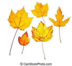 folhas, carvalho, isolado, amarela, outono, outono, branca, maple