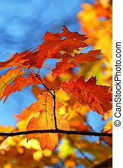 folhas, carvalho, outono