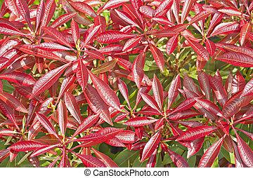 folhas, colorido, arbusto, pieris, vermelho