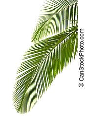 folhas, de, árvore palma