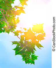 folhas, de, maple, em, caia, luz solar