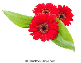 folhas, experiência verde, flores brancas, gerbera, vermelho
