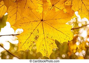 folhas, foco raso, outono, fundo, maple