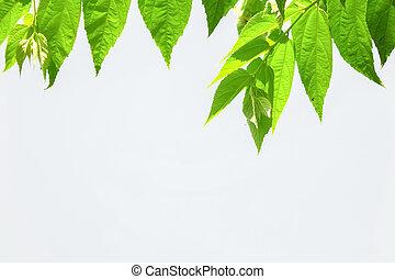 folhas, fundo branco