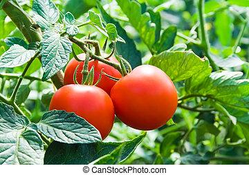 folhas, isolado, verde vermelho, tomates frescos