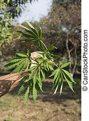 folhas, mão, marijuana, homem