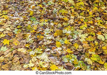 folhas, maple, árvores caídas