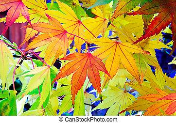 folhas, maple