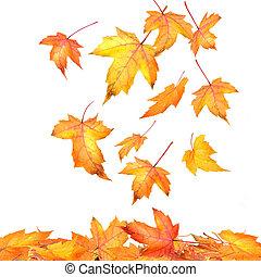 folhas, maple, queda, fundo, branca