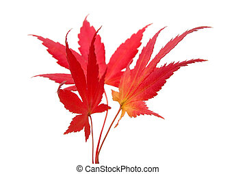 folhas, maple, três