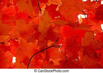 folhas, maple vermelho