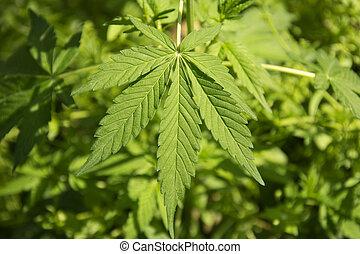 folhas, marijuana