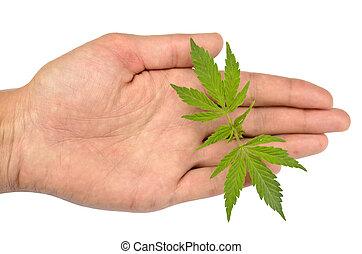 folhas, marijuana, mão