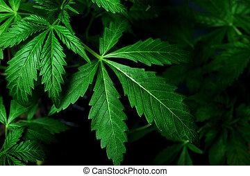 folhas, medicinal, cannabis, cultivo, fundo, bonito, marijuana, escuro, indoor