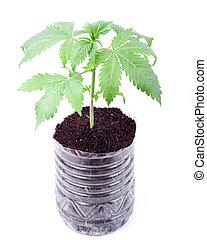 folhas, medicinal, planta maconha, fundo, solo, marijuana, crescer, branca, verde, earthen, indoor, pote, jovem