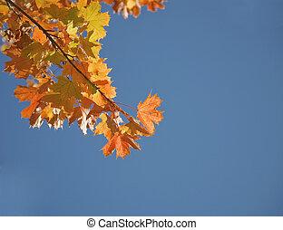 folhas, outonal, maple