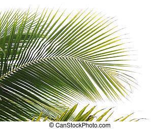 folhas palma, árvore
