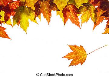 folhas, penduradas, borda, maple, outono