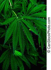 folhas, plantas, natural., textura, water., cannabis, marijuana, gota, growing., fundo