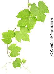 folhas, uva