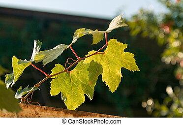 folhas, uva, luz solar
