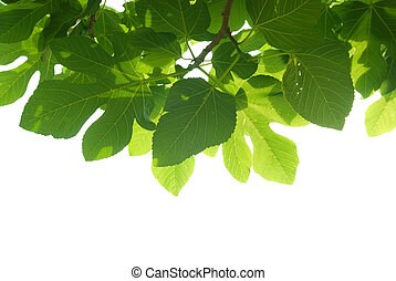 folhas, verde, ramo, fig-tree