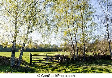 folhas, vidoeiros, springtime, verde, fresco, novo, paisagem, vista