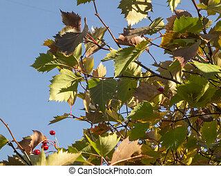Foliage against blue sky. Autumn time, autumn in the city, autumn landscape