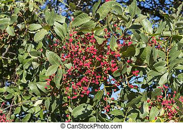 Terebinth, Pistacia terebinthus - Foliage and fruits of...