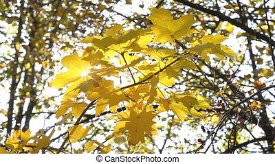 Autumnal maple foliage with sun outdoor