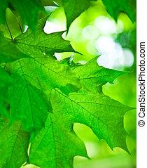 foliage, de, verde, maple