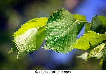 Foliage elm