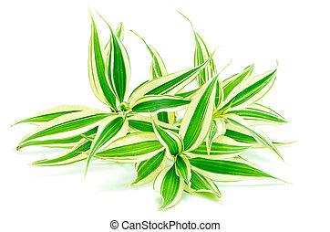 Dracaena - Foliage leaves of dracaena (Dracaena reflexa),...