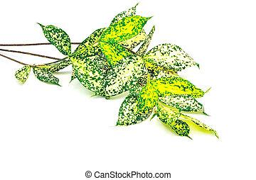 dracaena - Foliage leaves of dracaena, Gold-dust dracaena or...