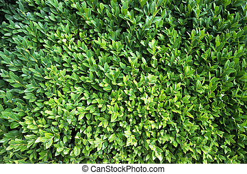 Foliage of box tree (Buxus sempervirens). Natural green ...