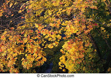 Foliage of bright yellow autumn maple tree