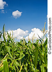 Foliage of corn on a background of the sky