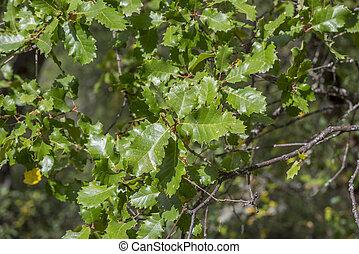 Gall Oak, Quercus faginea - Foliage of Gall Oak, Quercus...