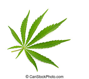 Foliage of hemp isolated