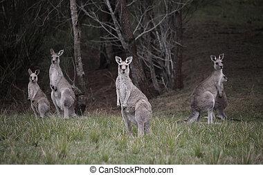 folkhop, kängurur, bushland