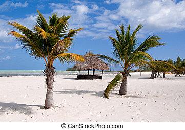 folktom, koja, palmträdar