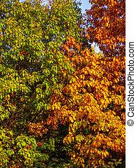 follaje, otoño, -, árbol, contraste, naturaleza, roble
